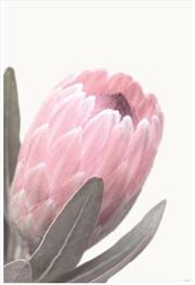 Pale Pink Protea | Merchandise