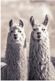 Llamas | Merchandise